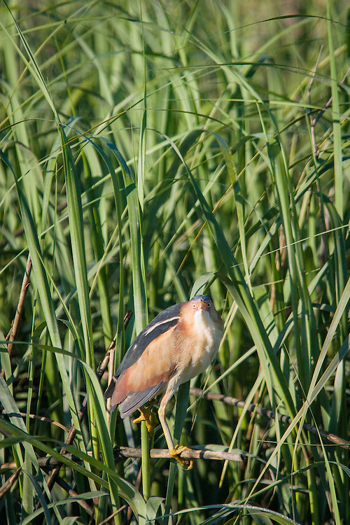An elusive least bittern in mating plumage perches, likely near its hidden nest, at the edge of a May River salt marsh.