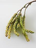 Spring catkins - tree flowers