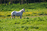 white horse by the vineyards chateau pey la tour bordeaux france