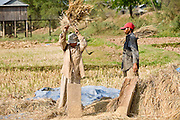 16 MARCH 2006 - KAMPONG CHAM, KAMPONG CHAM, CAMBODIA: People thresh rice during the harvest near the city of Kampong Cham on the Mekong River in central Cambodia. Rice here is still harvested by hand. PHOTO BY JACK KURTZ
