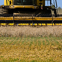 Closeup of the blades of a yellow New Holland harvester cutting a field of barley plants, under a blue sky.(Hordeum vulgare)