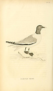 Sabines xeme (Sabine's gull Xema sabini), from the 1825 volume (Aves) of 'General Zoology or Systematic Natural History' by British naturalist George Shaw (1751-1813). Shaw wrote the text (in English and Latin). He was a medical doctor, a Fellow of the Royal Society, co-founder of the Linnean Society and a zoologist at the British Museum. Engraved by Mrs. Griffith