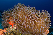 Ritteri Anemone (Heteractis magnifica)<br /> Cenderawasih Bay<br /> West Papua<br /> Indonesia
