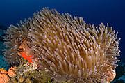Ritteri Anemone (Heteractis magnifica)<br /> Cenderawasih Bay<br /> West Papua<br /> Indonesia