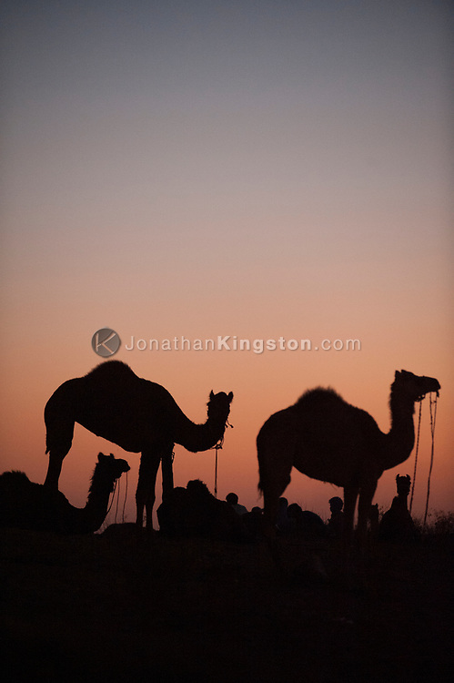 Silhouetted camels against a sunset sky in India.