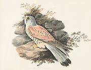 Male Common kestrel (Falco tinnunculus) perched on a branch. This bird of prey is a member of the falcon (Falconidae) family. It is widespread in Europe, Asia, and Africa, and is sometimes found on the east coast of North America. 18th century watercolor painting by Elizabeth Gwillim. Lady Elizabeth Symonds Gwillim (21 April 1763 – 21 December 1807) was an artist married to Sir Henry Gwillim, Puisne Judge at the Madras high court until 1808. Lady Gwillim painted a series of about 200 watercolours of Indian birds. Produced about 20 years before John James Audubon, her work has been acclaimed for its accuracy and natural postures as they were drawn from observations of the birds in life. She also painted fishes and flowers. McGill University Library and Archives
