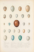 Various eggs of bird species from Cuba, Charadrius rociferus, Colymbus dominicensis. Falco, 4. Anas sponsa. – 5. Quiscalus baritus. – 6. Turdus rubripes. – 7. Columba zenaida. – 8. Quiscalus atroviclaceus. – 9. Tyrannus (?). – 10. Passerina olivacea. – 11. Muscicapa virens. – 12. Quiscalus (?) Vulg. Toti mayito. – 13. Icterus (?) Vulg. Solivio. – 14. Polyborus vulgaris. – 15. Columba passerina. – 16. Picus (?) Vulg. Carpintero jabado. – 17. Picus (?) Vulg. Carpintero verde. – 18. Columba carolinensis. – 19. ? Vulg. Bueyero. – 20. Sturnella Ludoviciana. – 21. Saurothera Merlíni. – 22. Crotophaga ani. – 23. Corvus jamaicensis. – 24. NoctuaFrom the book Histoire physique, politique et naturelle de l'ile de Cuba [Physical, political and natural history of the island of Cuba] by  Sagra, Ramón de la, 1798-1871; Orbigny, Alcide Dessalines d', 1802-1857 Publication date 1838 Publisher Paris : A. Bertrand