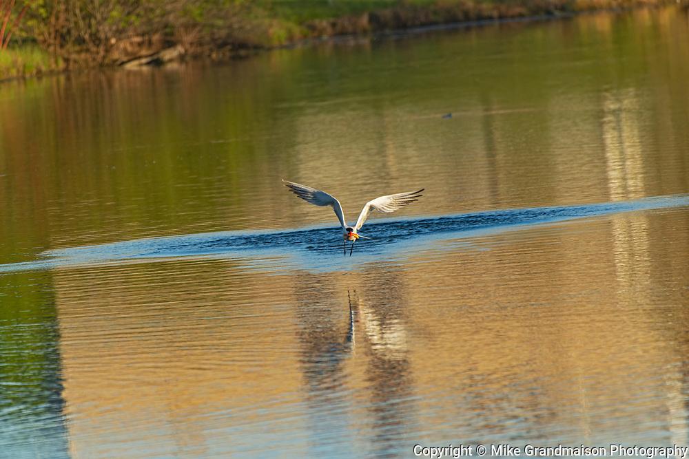 Caspian tern (Hydroprogne caspia) in flight with fish (prey)<br />Winnipeg<br />Manitoba<br />Canada