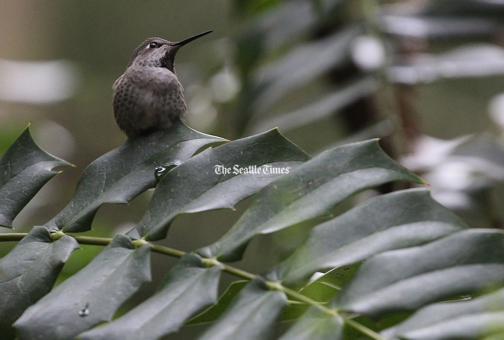 Keeping watch over her territory, an Anna's hummingbird pauses atop a leaf at the Winter Garden. (Alan Berner/The Seattle Times)