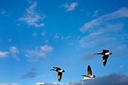 Three Canada Geese in flight.