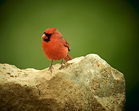 Male Northern Cardinal. Image taken with a Nikon D4 camera and 600 mm f/4 VR lens (ISO 200, 600 mm, f/4, 1/200 sec).