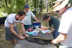 Sam & David Measuring Mountain Brushtail Possum (Jean & Kevin)
