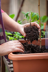 Planting up tomatoes in a terracotta container
