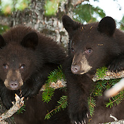 two young black bear cubs in Douglas fir tree