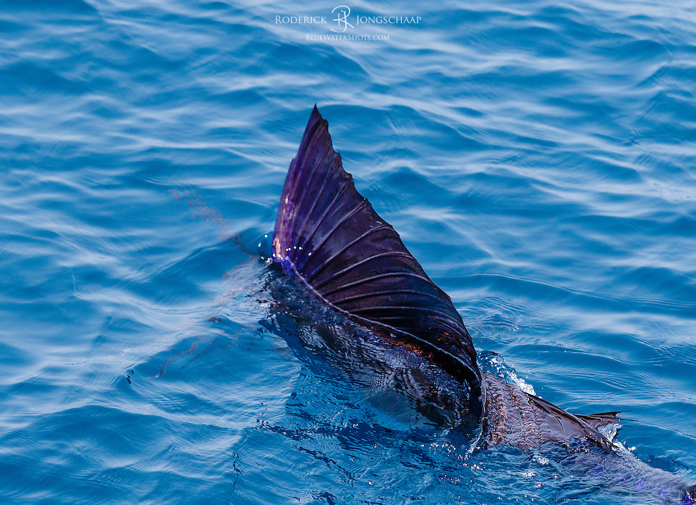 Sailfish swimming underwater with its urple dorsal fin fully erected, offshore Lobito, Angola.