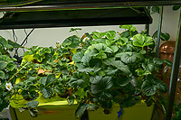 Hydroponic Tub 07-08. Strawberry Plants (85 days). Image taken with a Leica TL-2 camera and 35 mm f/1.4 lens (ISO 200, 35 mm, f/8, 1/50 sec).