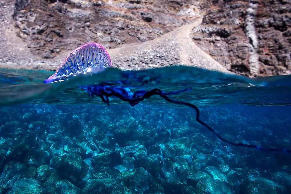 07/Abril/2014 Islas Canarias. El Hierro<br /> Inmersión el Barco Chino.<br /> Carabela portuguesa.<br /> <br /> © JOAN COSTA