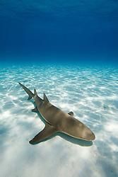 Lemon Shark, Negaprion brevirostris, West End, Grand Bahama, Bahamas, Atlantic Ocean.