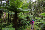 Tree ferns along the Hollyford Track, in Fiordland National Park, Southland region, South Island of New Zealand. We enjoyed an easy 3-day version of the Hollyford Track: Day 1: fly from Milford Sound to Martins Bay, walk to its oceanfront Hut, and see New Zealand fur seals. Day 2: jetboat on Lake McKerrow to Pyke River Confluence, hike to Hidden Falls Hut for overnight lodging. Day 3: tramp out to Hollyford Road end to our prearranged car shuttle. In 1990, UNESCO honored Te Wahipounamu - South West New Zealand as a World Heritage Area. To license this Copyright photo, please inquire at PhotoSeek.com .