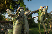 Live iguanas for food (Iguana iguana)<br /> Georgetown<br /> GUYANA<br /> South America