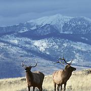 Elk (Cervus canadensis) young bulls on a winter range during fall rut.