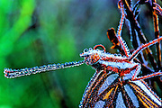 A Gulf Fritillary is covered with dew in the early morning chill - Mississippi.