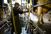 Ken Pilkington, chief herdsman on the farm, at milking time in the milk parlour. With a new parlour planned this is a traditional one which has served many years.. The cows are brought in to individual stalls, their teats are disinfected, and wiped before the milking apparatus is attached. After each cow the apparatus is cleaned and rinsed; as are the stalls. All of this ensures the ultimate cleanliness in the end product, which is tested daily to ensure top quality. Wildon Grange Dairy Farm, Coxwold, North Yorkshire, UK. Owned and run by the Banks family, dairy farming here is a scientific business. From the breeding, nutrition and health of their closed stock of Holstein Friesian cows, through to the end product, the team here work tirelessly, around to clock to ensure content and healthy animals, and excellent quality milk.