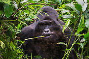 A silverback mountain gorilla (Gorilla beringei beringei) feeding and covered with forest flies, ,Bwindi Impenetrable Forest, Uganda, Africa