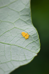 The eggs of cabbage white caterpillar / butterfly. Pieris brassicae