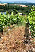 Vineyard. Merlot. Kir-Yianni Winery, Yianakohori, Naoussa, Macedonia, Greece