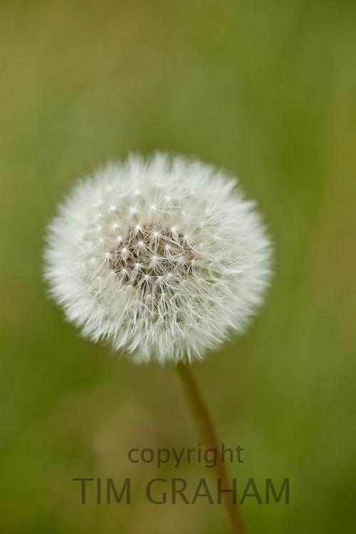 Dandelion seed head with filamentous achenes ready for dispersal, UK