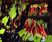 Freshly pulled rhubarb for the 82nd Annual Rhubarb Show, Caldergrove, Wakefield. February is high season for the forced rhubarb of the so-called 'Rhubarb Triangle' formed by Wakefield, Rothwell and Morley. These intensely flavoured plants with pink stems and yellow leaves - grown by candlelight and tended by hand in huge, heated forcing sheds - are one of the first culinary delights of the British winter.