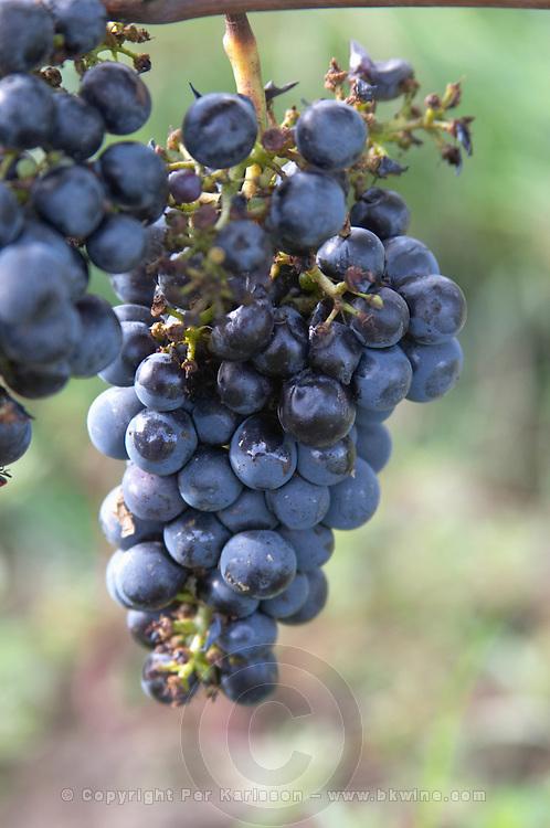Bunches of ripe grapes. Chateau Richelieu, Fronsac, Bordeaux, France