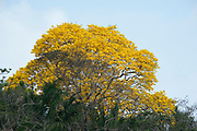 Guayacan Gold Tree, Tabebuia guayacan, Panama, Central America, Parque Nacional Soberania, on Panama Canal river bank