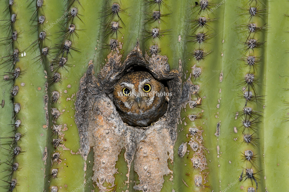 A female Elf Owl (Micrathene whitneyi) peeks out from her nest in a Saguaro cactus (Carnegiea gigantea), while listening to the call of her mate. (Arizona)