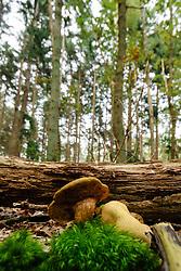Kostgangerboleet, Boletus parasiticus