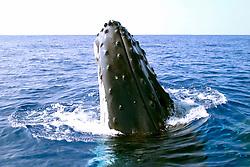 humpback whale spyhopping, Megaptera novaeangliae, Big Island, Hawaii, Pacific Ocean