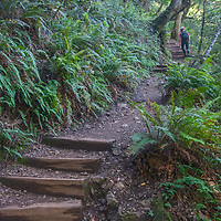 A hiker walks up stairs between ferns and lush undergrowth on the Cataract Creek Trail up Mount Tamalpais in Marin County, California.
