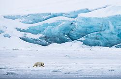Polar bear in March, Spitsbergen, Svalbard, Norway
