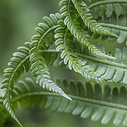 In Seattle's Washington Park Arboretum, Fiddlehead Ferns reach skyward.<br /> <br /> Steve Ringman / The Seattle Times