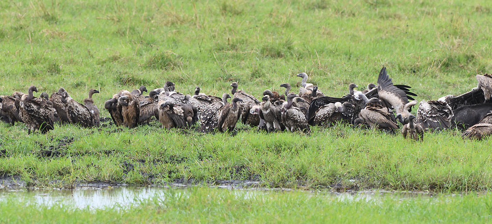 A variety of vultures gather round the remains of a dead cape buffalo (Syncerus caffer) on the edge of the Silale Swamp.  Birds present include Ruppell's vulture (Gyps rueppelli) and white-backed vulture (Gyps africanus). Tarangire National Park, Tanzania.