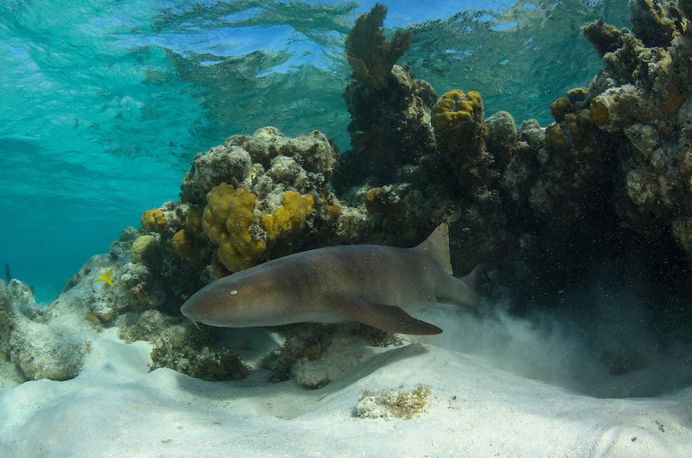 Nurse Shark (Ginglymostoma cirratum)<br /> Marine Megafauna Research. Large marine fish, sharks, rays & turtles.<br /> MAR Alliance<br /> Halfmoon Caye<br /> Lighthouse Reef Atoll<br /> Belize<br /> Central America