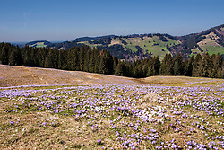 High angle view of purple crocus flowers with mountain ranges in the background, Hochsiedelalpe, Bavaria, Germany