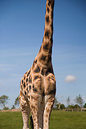 Giraffe at Fota Wildlife Park, Cork, Ireland