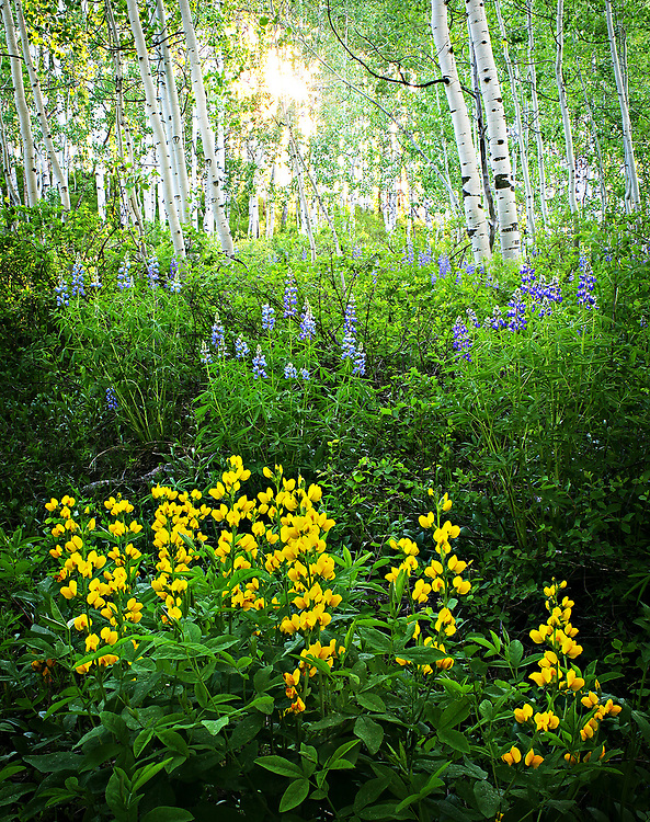 Yellow pea flowers and purple lupine in an aspen forest backlit by the setting sun.