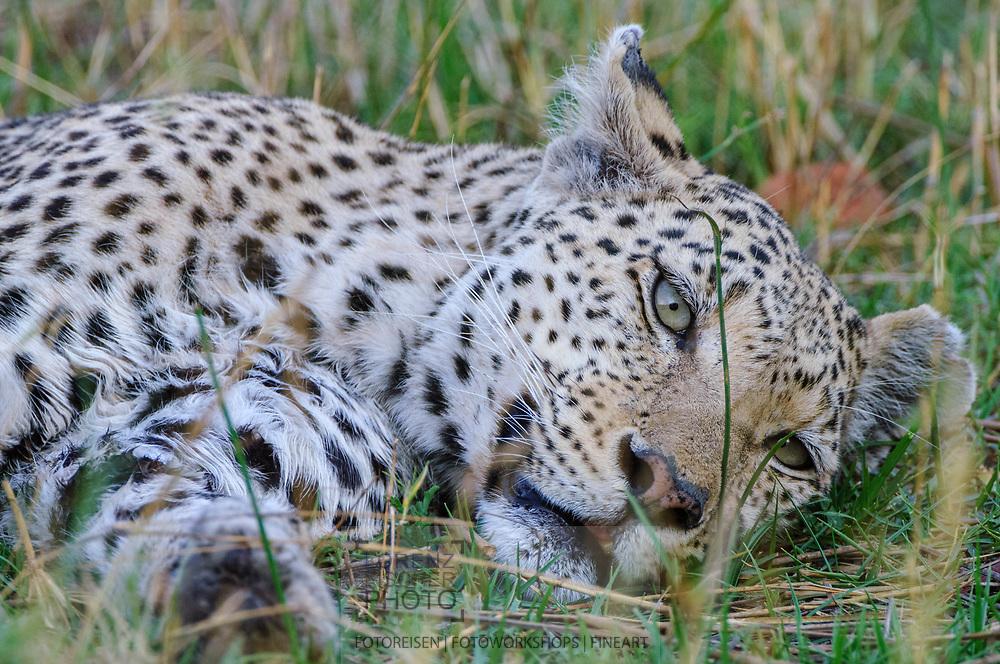 Impressionen von einer älteren Leopardendame im Moremi Game Reserve in der Region North Gate.