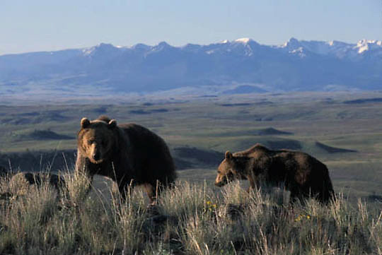 Grizzly Bear, (Ursus horribilis) Adult and yearling in southwest Montana.  Captive Animal.