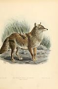 "The coyote (Canis latrans) is a species of canine native to North America. It is smaller than its close relative, the wolf, and slightly smaller than the closely related eastern wolf and red wolf. It fills much of the same ecological niche as the golden jackal does in Eurasia, though it is larger and more predatory, and it is sometimes called the American jackal by zoologists. Other names for the species, largely historical, include the prairie wolf and the brush wolf. From the Book Dogs, Jackals, Wolves and Foxes A Monograph of The Canidae [from Latin, canis, ""dog"") is a biological family of dog-like carnivorans. A member of this family is called a canid] By George Mivart, F.R.S. with woodcuts and 45 coloured plates drawn from nature by J. G. Keulemans and Hand-Coloured. Published by R. H. Porter, London, 1890"