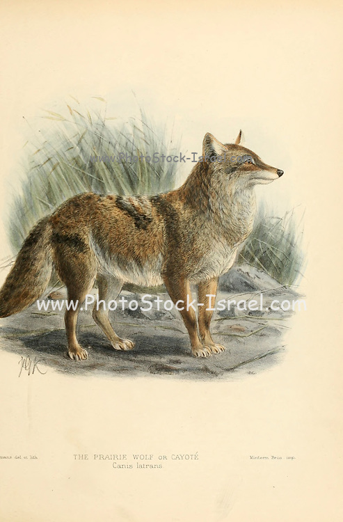 """The coyote (Canis latrans) is a species of canine native to North America. It is smaller than its close relative, the wolf, and slightly smaller than the closely related eastern wolf and red wolf. It fills much of the same ecological niche as the golden jackal does in Eurasia, though it is larger and more predatory, and it is sometimes called the American jackal by zoologists. Other names for the species, largely historical, include the prairie wolf and the brush wolf. From the Book Dogs, Jackals, Wolves and Foxes A Monograph of The Canidae [from Latin, canis, """"dog"""") is a biological family of dog-like carnivorans. A member of this family is called a canid] By George Mivart, F.R.S. with woodcuts and 45 coloured plates drawn from nature by J. G. Keulemans and Hand-Coloured. Published by R. H. Porter, London, 1890"""