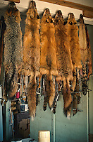 It was that time of year again. Fox and beaver pelts hang to dry following the winter season of permitted trapping. Most all of the animals were trapped as a result of calls to control overrun populations in a given area.